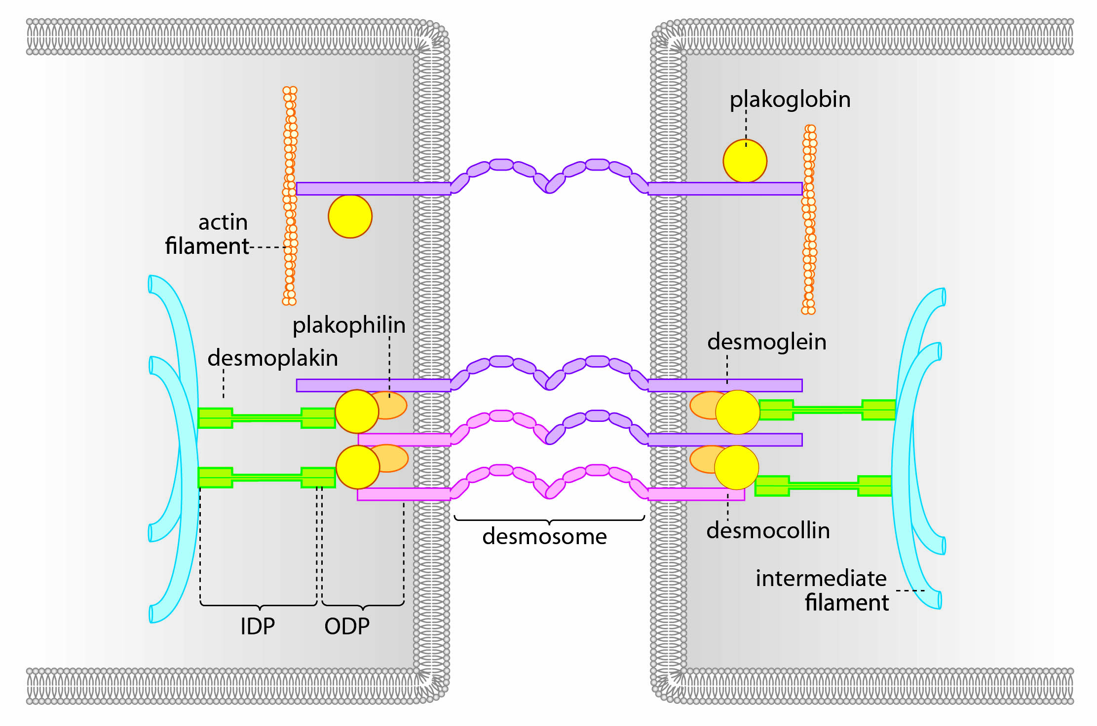 schematic of a desmosome